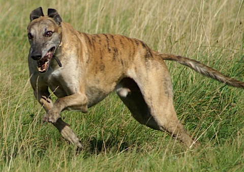 Dustin Schultz Dog Bio 800px-greyhound_running_brindle