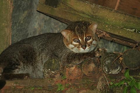 flatheadedcat.png