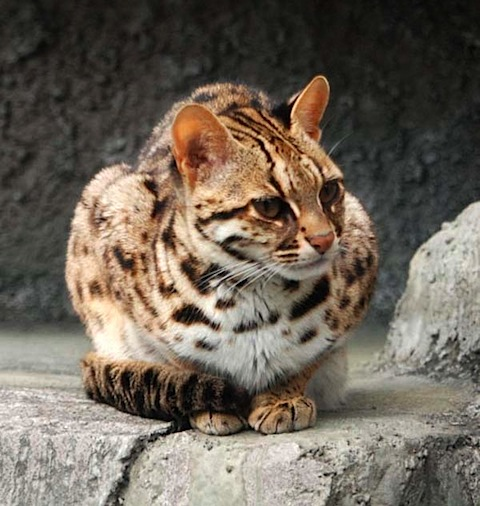 Leopard-Cat-1.jpg