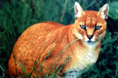 african_golden_cat.jpg