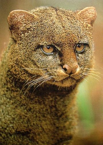 Favorite 4 - Jaguarundi.jpg