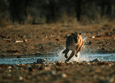 lion-hunt-06.jpg