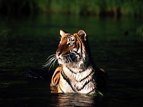 Taking a Dip, Bengal Tiger.jpg