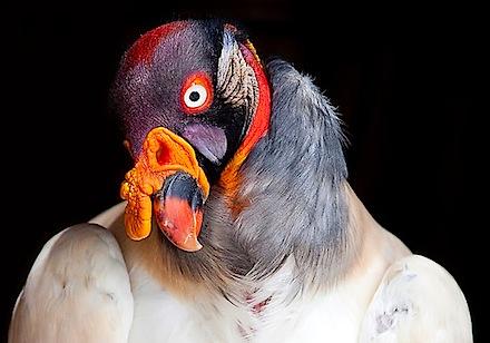 2703623-4-king-vulture.jpg