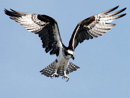 osprey-pandion-haliaetus.jpg
