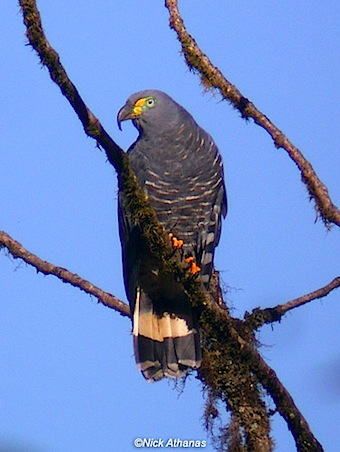 Hook-billed-Kite-utv.jpg